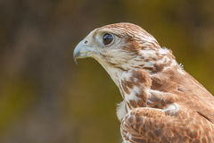 Close-up of mighty eagle. Photo shows close-up of mighty brown eagle in summer Royalty Free Stock Image