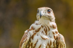 Close-up of mighty eagle. Photo shows close-up of mighty brown eagle in summer Royalty Free Stock Images