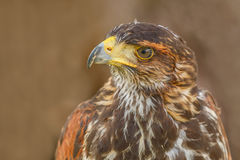 Close-up of mighty eagle. Photo shows close-up of mighty brown eagle in summer Stock Image