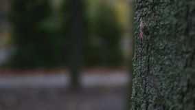 Close up of mighty trunk of the pine tree in the park background. selective focus.  stock video