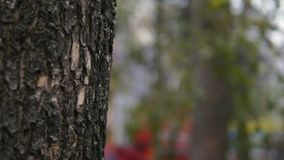 Close up of mighty trunk of the pine tree in the park background. selective focus.  stock video footage