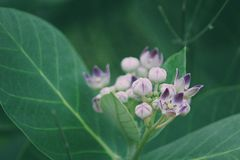 Close-up of Milkweed stock photography