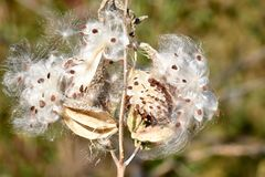 The Seeds and Silky Hairs of Milkweed. A close-up of milkweed plant - genus: asclepias - which is releasing seeds from its pod and silky-like hairs. Thousands of royalty free stock image