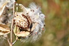 The Seeds and Silky Hairs of Milkweed. A close-up of milkweed plant - genus: asclepias - which is releasing seeds from its pod and silky-like hairs. Thousands of stock photos