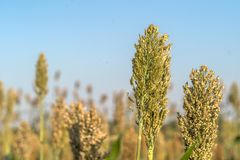 Close up Millet or Sorghum in field of feed for livestock. Millet or Sorghum an important cereal crop in field, Sorghum a widely cultivated cereal native to warm Stock Image
