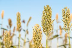 Close up Millet or Sorghum in field. Close up Millet or Sorghum an important cereal crop in field Stock Photography