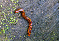 Close up of the millipede on green moss wall Royalty Free Stock Photos