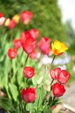 Tulips in blossom royalty free stock image
