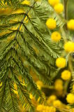 Close up of mimosa flowers Stock Photos