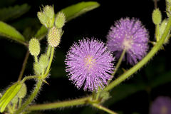 Close up of Mimosa pudica. Mimosa pudica  (also known as a touch-me-not)is a creeping annual or perennial herb often grown for its curiosity value: the compound Stock Image