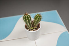 Close up mini cactus prickles in a white flowerpot on a blue and Royalty Free Stock Images