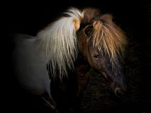 Close-up dwarf horse Royalty Free Stock Images