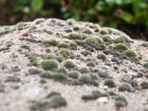 Close up of mini spiky moss and lichen on top of brick wall Royalty Free Stock Photography