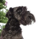 Close up of a Miniature Schnauzer Stock Photo