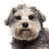 Close-up of Miniature Schnauzer, 3 years old Stock Photo