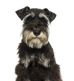 Close-up of a Miniature Schnauzer looking at the camera Royalty Free Stock Photo