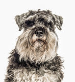 Close-up of Miniature Schnauzer, 2 years old Stock Photography