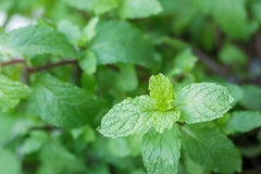 Close up mint in garden.Kitchen mint,Thai peppermint, Royalty Free Stock Photography
