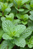 Close up of mint plant Royalty Free Stock Photography