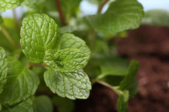 Close up of mint plant in soil Royalty Free Stock Photos