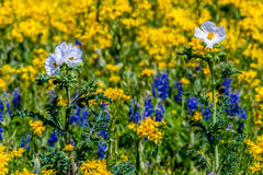 Close up of a Mix of Cut Leaf Groundsel, White Poppy, and Texas Bluebonnet Wildflowers Stock Photo