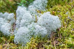 Close-up mix of white and green moss in a coniferous forest. Close-up mix of white and green moss in a coniferous forest Royalty Free Stock Photos