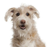 Close-up of Mixed-breed dog, 14 years old royalty free stock photos