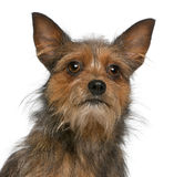 Close-up of Mixed-breed dog, 15 months old Royalty Free Stock Image