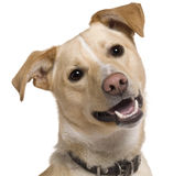 Close-up of Mixed breed dog, 9 months old Stock Photography