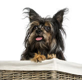 Close-up of a Mixed breed dog between Chihuahua and Yorkshire Royalty Free Stock Photos