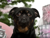 Close-up of Mixed-breed dog with Christmas gifts Royalty Free Stock Images