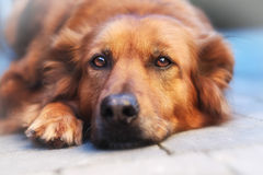 Close-up of mixed-breed  dog. Relaxed mixed-breed dog looking directly at the camera Stock Image