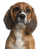 Close-up of Mixed-breed puppy, 12 weeks old. In front of white background Stock Photography