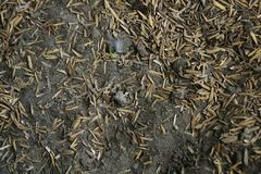 Close up of a mixture of earth and empty seed shells in a free range chicken farm. Close up of a mixture of dry dusty earth and empty seed shells in a free range stock images