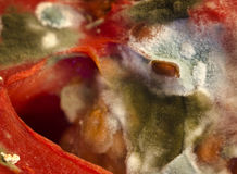 Close up mold growing on a tomato seed Royalty Free Stock Image