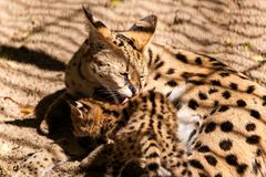 Close-up Mom serval royalty free stock photos