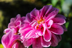 Close up on Mona Lisa flower, Pink flower, Spring flower with wa Royalty Free Stock Images