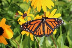 Close up of Monarch butterfly on Brown-eyed Susans. Looking down on a Monarch Butterfly with its wings open on a yellow and brown flower royalty free stock photography