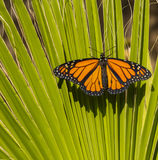 Close up of Monarch Butterfly Stock Image