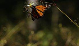 Monarch Butterfly Suspended. Close-up of a monarch butterfly feeding on the end of a plant royalty free stock photos