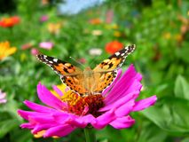 Close-up of a Monarch Butterfly. Monarch Butterfly feeds on the pink Zinnia flower in summer day royalty free stock photos