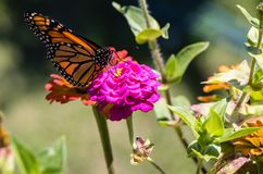 Monarch butterfly on a hot pink flower. Close up of a Monarch butterfly on a hot pink and yellow flower stock photo