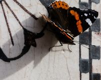 Butterfly,close up. Close up of a monarch butterfly on a marble background stock images
