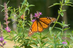 Monarch butterfly on a wild flower stock photos