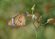 Close up of Monarch butterfly. Sitting on plant Royalty Free Stock Photos
