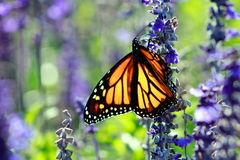 Close Up of a Monarch Butterfly Royalty Free Stock Photos
