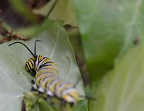 Macro photo of a wet monarch caterpillars outside on a plant. Close up of monarch caterpillar outside on a plant in a flowerbed. Bright and colorful nature photo royalty free stock photo