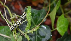 Macro photo of a wet monarch caterpillars outside on a brown stem of a plant. Close up of monarch caterpillar outside on a stem of a wet plant in a flowerbed stock photo