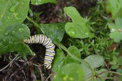Macro photo of a wet monarch caterpillars outside on a brown stem of a plant. Close up of monarch caterpillar outside on a a wet plant in a flowerbed royalty free stock photos
