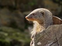 Head of a mongooses in the profile on the right hand side of the Royalty Free Stock Photography